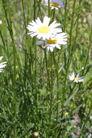 Image http://bioimages.vanderbilt.edu/lq/baskauf/wlevu--wpin-flower10927.jpg