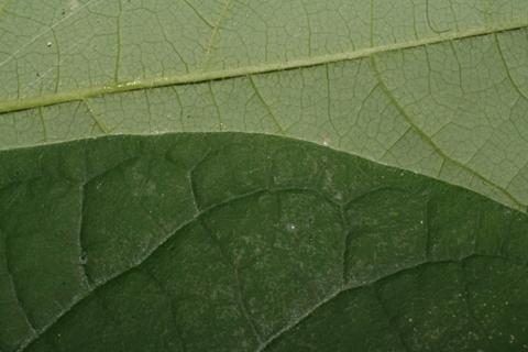 Image http://bioimages.vanderbilt.edu/lq/baskauf/wlibe3-lfmargin-uplow52747.jpg