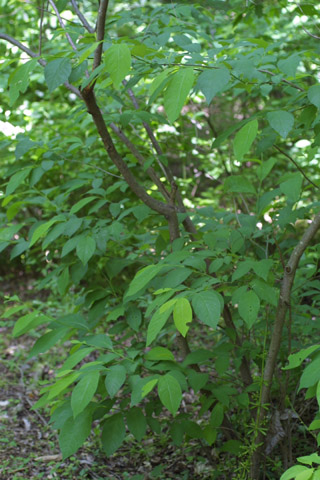 Image http://bioimages.vanderbilt.edu/lq/baskauf/wlibe3-wpsmall11086.jpg