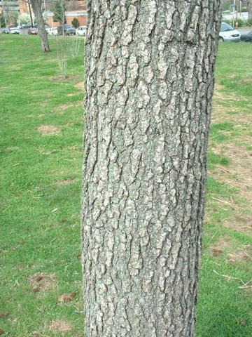 Image http://bioimages.vanderbilt.edu/lq/baskauf/wlist2-brd0182.jpg