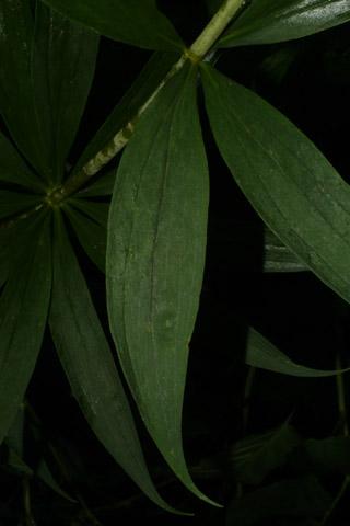 Image http://bioimages.vanderbilt.edu/lq/baskauf/wlisu--lf37078.jpg