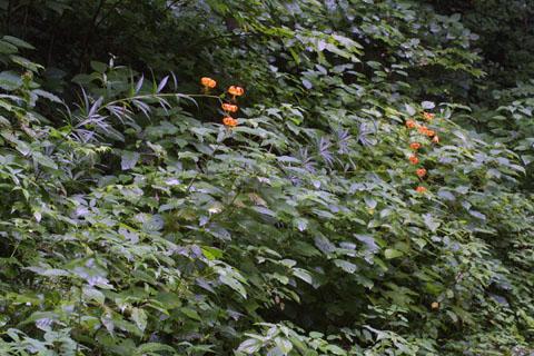 Image http://bioimages.vanderbilt.edu/lq/baskauf/wlisu--wpdistant37060.jpg