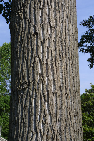 Image http://bioimages.vanderbilt.edu/lq/baskauf/wlitu--brlarge-tree11275.jpg