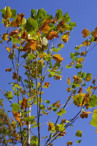 Image http://bioimages.vanderbilt.edu/lq/baskauf/wlitu--lffall16717.jpg