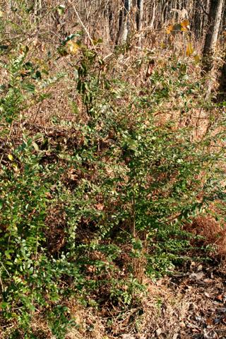 Image http://bioimages.vanderbilt.edu/lq/baskauf/wlivu--wp56406.jpg