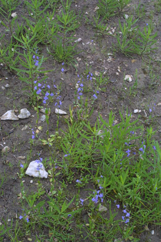 Image http://bioimages.vanderbilt.edu/lq/baskauf/wloapg-wpdistant34313.jpg