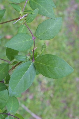 Image http://bioimages.vanderbilt.edu/lq/baskauf/wlofr--lfseveral20742.jpg