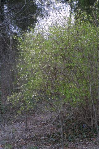 Image http://bioimages.vanderbilt.edu/lq/baskauf/wlofr--wpin-flower31492.jpg