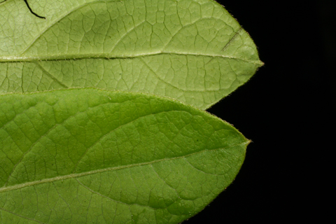 Image http://bioimages.vanderbilt.edu/lq/baskauf/wloja--lfmargin-uplow52506.jpg