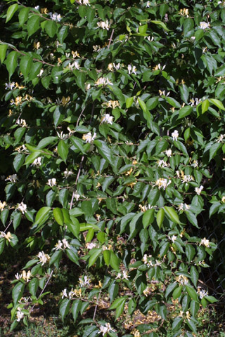 Image http://bioimages.vanderbilt.edu/lq/baskauf/wloma6-wp10661.jpg