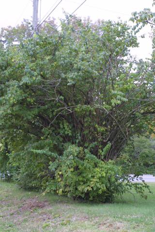Image http://bioimages.vanderbilt.edu/lq/baskauf/wloma6-wp29744.jpg