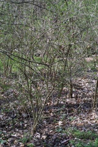 Image http://bioimages.vanderbilt.edu/lq/baskauf/wloma6-wpearly-spring17657.jpg