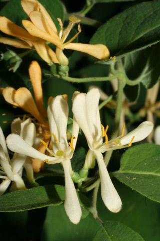 Image http://bioimages.vanderbilt.edu/lq/baskauf/wlomo2-flwhite-front51804.jpg