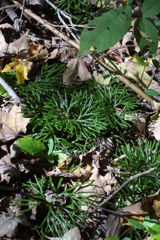 Image http://bioimages.vanderbilt.edu/lq/baskauf/wlydi3-wp16573.jpg
