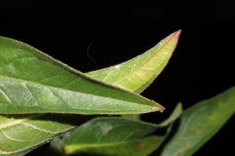 Image http://bioimages.vanderbilt.edu/lq/baskauf/wlysa2-lfmargin-uplow40398.jpg