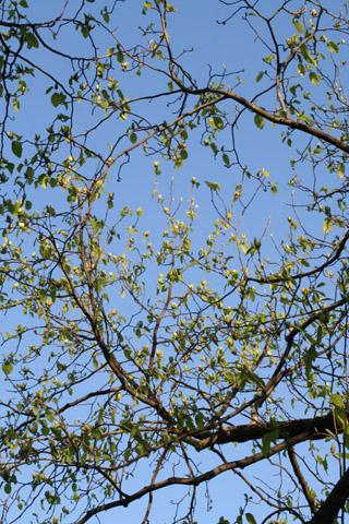 Image http://bioimages.vanderbilt.edu/lq/baskauf/wmaac--flmany-distant51164.jpg