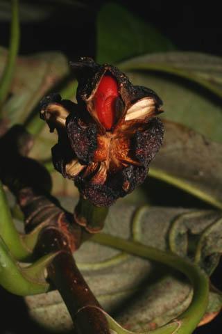 Image http://bioimages.vanderbilt.edu/lq/baskauf/wmaac--frseed55230.jpg