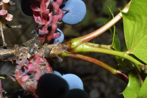 Image http://bioimages.vanderbilt.edu/lq/baskauf/wmaaq2-tw42675.jpg