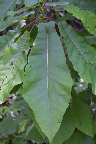 Image http://bioimages.vanderbilt.edu/lq/baskauf/wmafr--lf11526.jpg