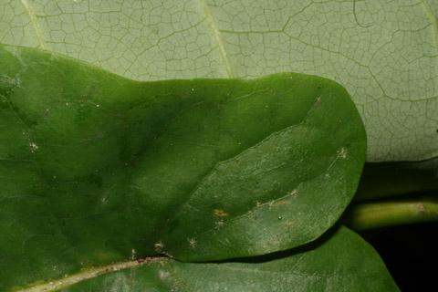 Image http://bioimages.vanderbilt.edu/lq/baskauf/wmafr--lfmargin-uplow49271.jpg