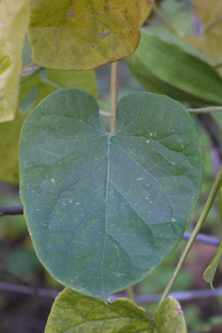 Image http://bioimages.vanderbilt.edu/lq/baskauf/wmago--lf16456.jpg