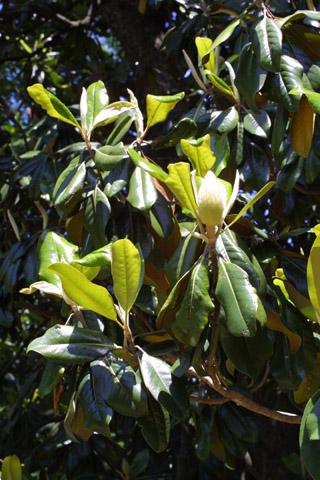 Image http://bioimages.vanderbilt.edu/lq/baskauf/wmagr4-flbud10947.jpg