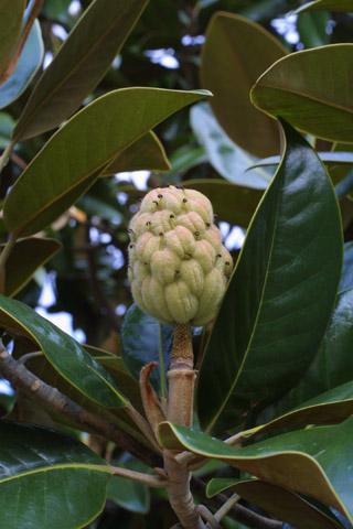 Image http://bioimages.vanderbilt.edu/lq/baskauf/wmagr4-fr15194.jpg