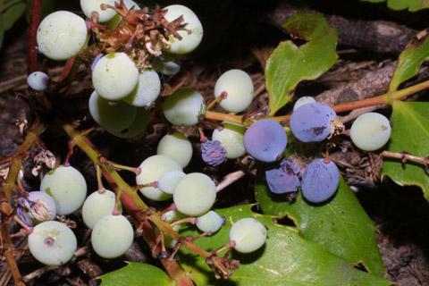 Image http://bioimages.vanderbilt.edu/lq/baskauf/wmane2-frinfruc42450.jpg
