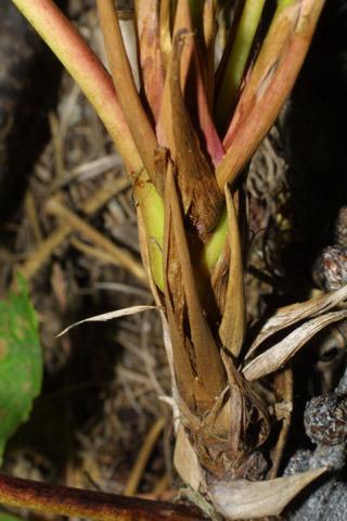 Image http://bioimages.vanderbilt.edu/lq/baskauf/wmane2-tw42455.jpg