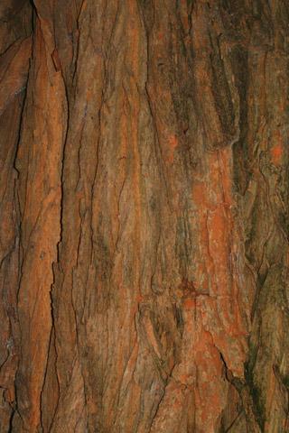 Image http://bioimages.vanderbilt.edu/lq/baskauf/wmapo--br55523.jpg
