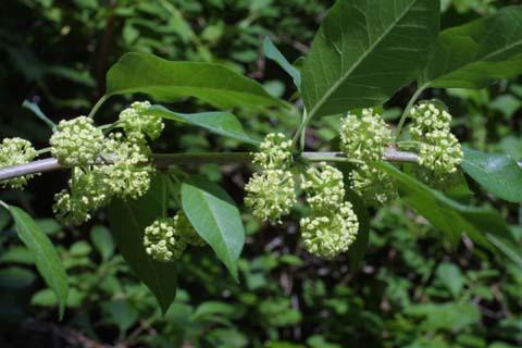 Image http://bioimages.vanderbilt.edu/lq/baskauf/wmapo--flmale-inflor22361.jpg