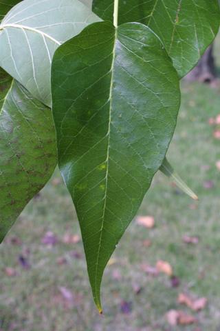Image http://bioimages.vanderbilt.edu/lq/baskauf/wmapo--lf16067.jpg