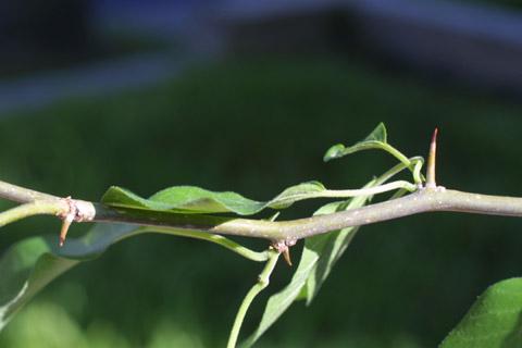 Image http://bioimages.vanderbilt.edu/lq/baskauf/wmapo--twwith-spines11169.jpg