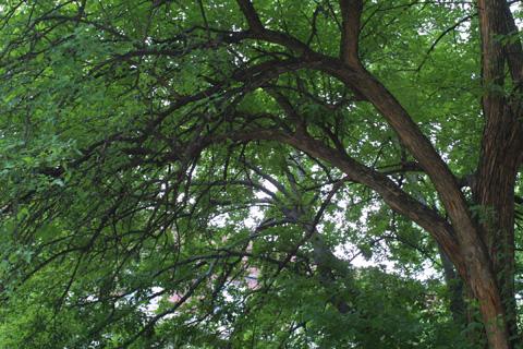 Image http://bioimages.vanderbilt.edu/lq/baskauf/wmapo--wpbranches12241.jpg