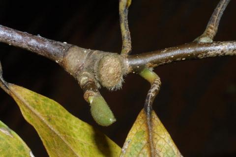 Image http://bioimages.vanderbilt.edu/lq/baskauf/wmaso9-twleaf-scar43735.jpg