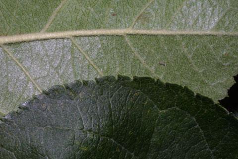 Image http://bioimages.vanderbilt.edu/lq/baskauf/wmasy2-lfmargin-uplow35473.jpg