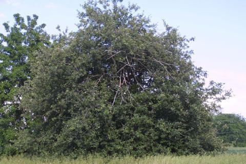 Image http://bioimages.vanderbilt.edu/lq/baskauf/wmasy2-wp35484.jpg