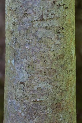 Image http://bioimages.vanderbilt.edu/lq/baskauf/wmatr--br11609.jpg