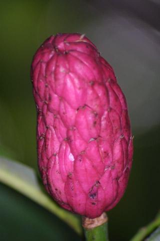 Image http://bioimages.vanderbilt.edu/lq/baskauf/wmatr--frclose-unopened38220.jpg