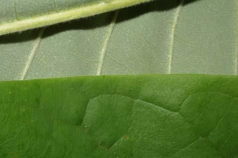 Image http://bioimages.vanderbilt.edu/lq/baskauf/wmatr--lfmargin-uplow28921.jpg