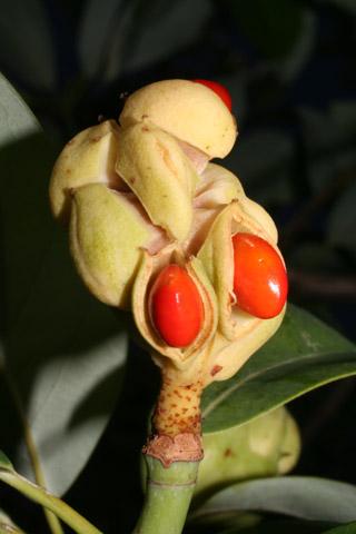 Image http://bioimages.vanderbilt.edu/lq/baskauf/wmavi2-fr55145.jpg
