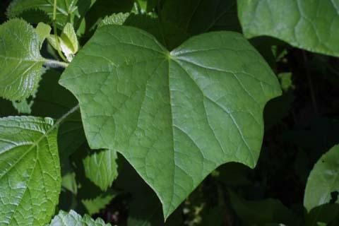 Image http://bioimages.vanderbilt.edu/lq/baskauf/wmeca3-lf22098.jpg