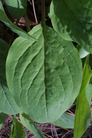 Image http://bioimages.vanderbilt.edu/lq/baskauf/wmevi3-lf18458.jpg