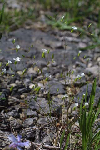 Image http://bioimages.vanderbilt.edu/lq/baskauf/wmipa6-flinflor21745.jpg