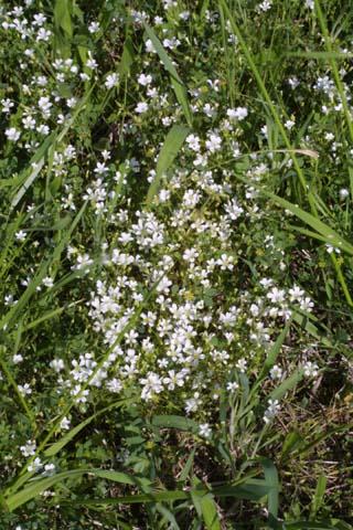 Image http://bioimages.vanderbilt.edu/lq/baskauf/wmipa6-wpmass21338.jpg