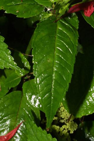 Image http://bioimages.vanderbilt.edu/lq/baskauf/wmodi--lf37053.jpg