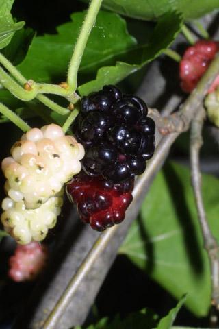 Image http://bioimages.vanderbilt.edu/lq/baskauf/wmoru2-fr35677.jpg