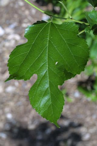 Image http://bioimages.vanderbilt.edu/lq/baskauf/wmoru2-lf11060.jpg