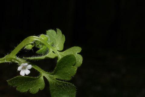 Image http://bioimages.vanderbilt.edu/lq/baskauf/wneap--lfmargin-uplow50919.jpg