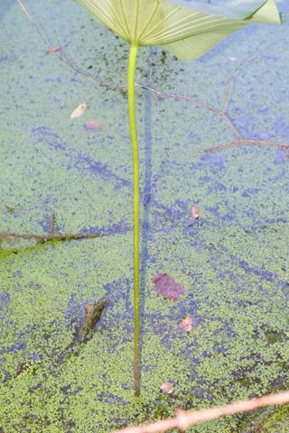 Image http://bioimages.vanderbilt.edu/lq/baskauf/wnelu--st37861.jpg